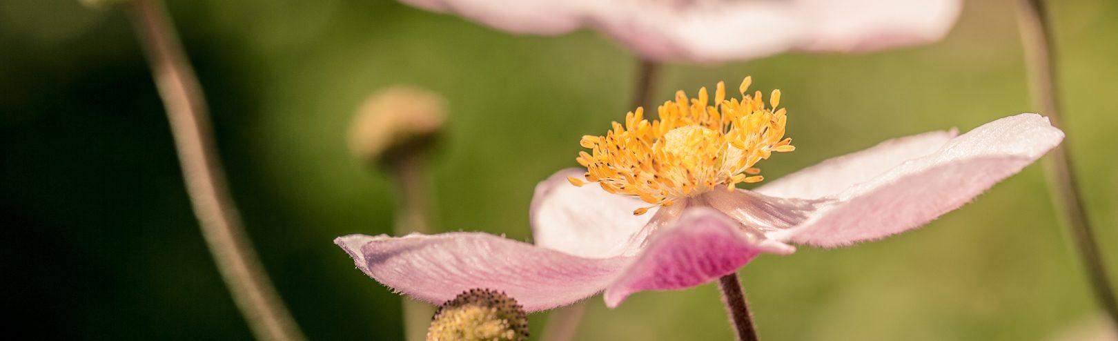 Herbst-Anemone (Anemone hupehensis)