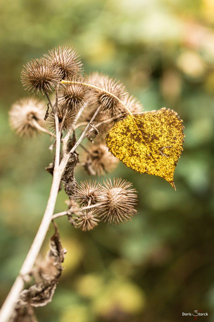 Herbstblatt auf Großer Klette (Arctium lappa)