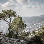 Kiefer am Hang des Mont Faron