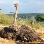Afrikanischer Strauß (Struthio camelus) - Straußenfarm Tannenhof