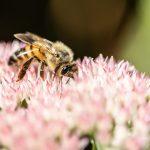 Honigbiene auf Prächtiger Fetthenne (Hylotelephium spectabile)