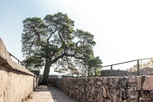 Die Kiefer auf der Schlossmauer