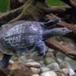 Dornrand-Weichschildkröte (Apalone spinifera) - Village des Tortues in Carnoules
