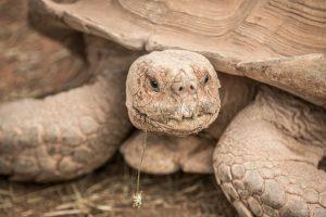 Spornschildkröte (Centrochelys sulcata) - Village des Tortues