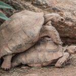 Spornschildkröte (Centrochelys sulcata) - Village des Tortues in Carnoules