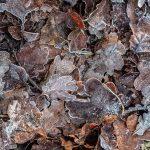 Herbstlaub mit Raureif