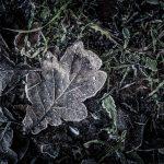 Stilleben mit Eichenblatt