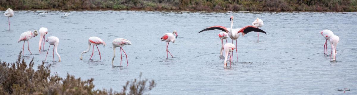 Flamingos in den Vieux Salins d'Hyères