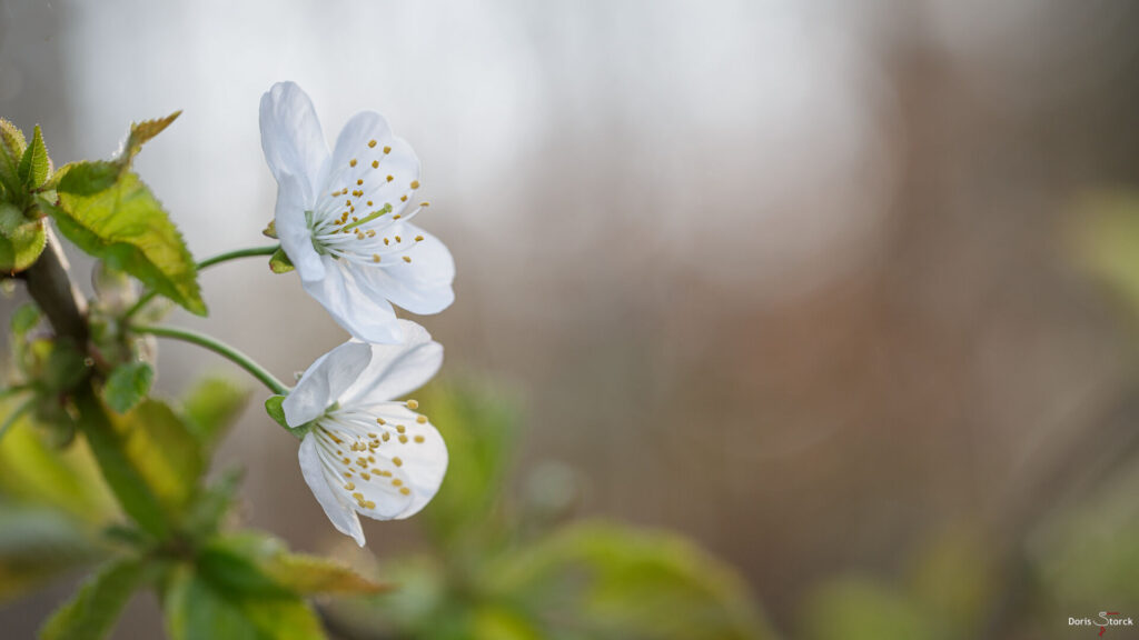 Kirschblüte im April - Frühling in Südhessen