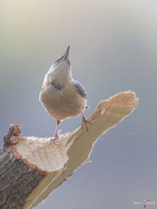 Kleiber (Sitta europaea) ) auf einem vom Biber bearbeiteten Baum.